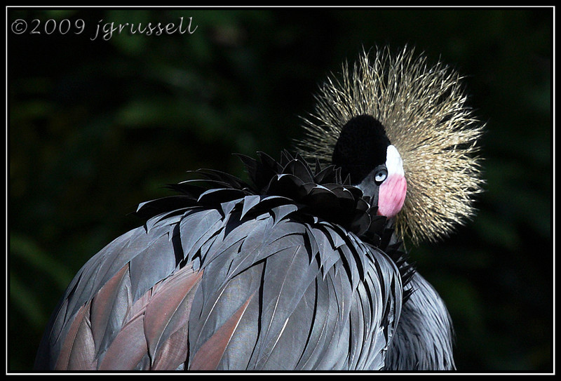 Grey crowned crane  - Florida