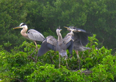 Great Blue Heron immatures