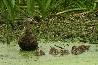 Female Mottled Duck and ducklings.