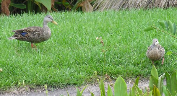 Mottled Ducks, male and female.