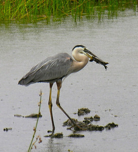 Great Blue Heron tries to eat a turtle (2).