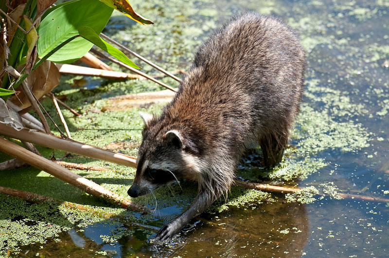 Racoon in Wakodahatchee Wetlands