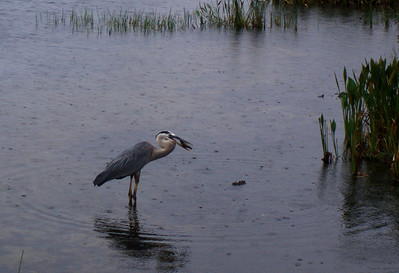 Great Blue Heron tries to eat a turtle.