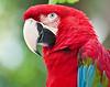 Scarlet macaw, St. Augustine Alligator Farm