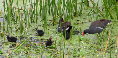 Common Gallinules and chicks (2).