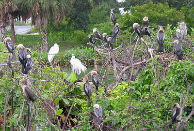 Anhingas, Egrets and a Cormorant