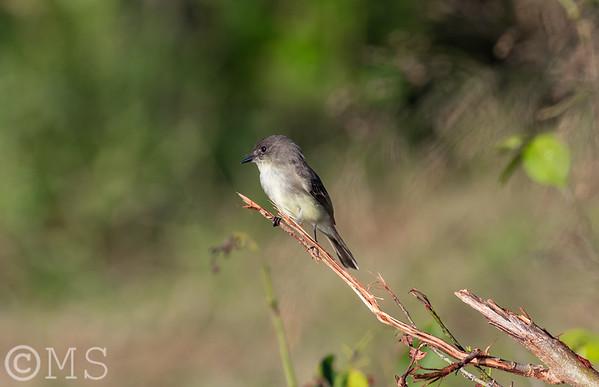Flycatcher Image Gallery