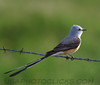 Scissor tailed Flycatcher (0641)