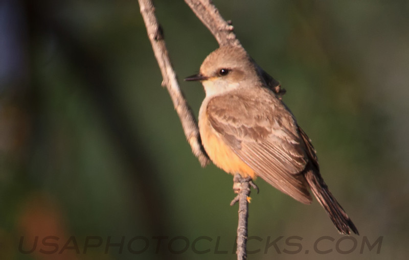 Vermilion Flycatcher (b0656)