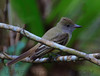 Great Crested Flycatcher (b0661)