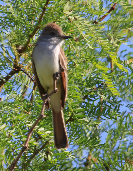 Ash Throated Flycatcher (b0631)