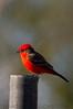 Vermilion Flycatcher (b0654)