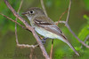 Least Flycatcher (b0671)