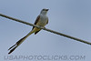 Scissor tailed Flycatcher (0642)