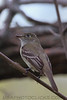 Least Flycatcher (b0672)