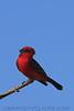 Vermilion Flycatcher (b0653)