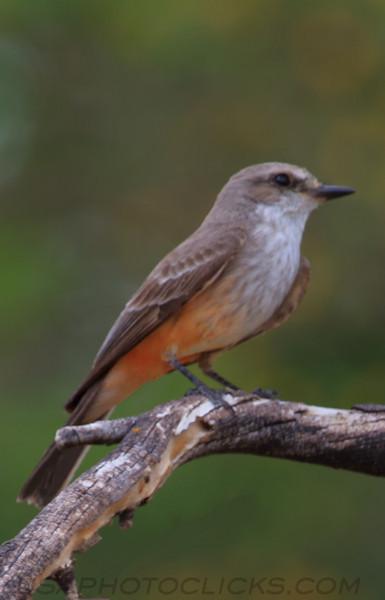 Vermilion Flycatcher (b0655)