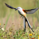 Scissor-tailed flycatcher 'Hovering'