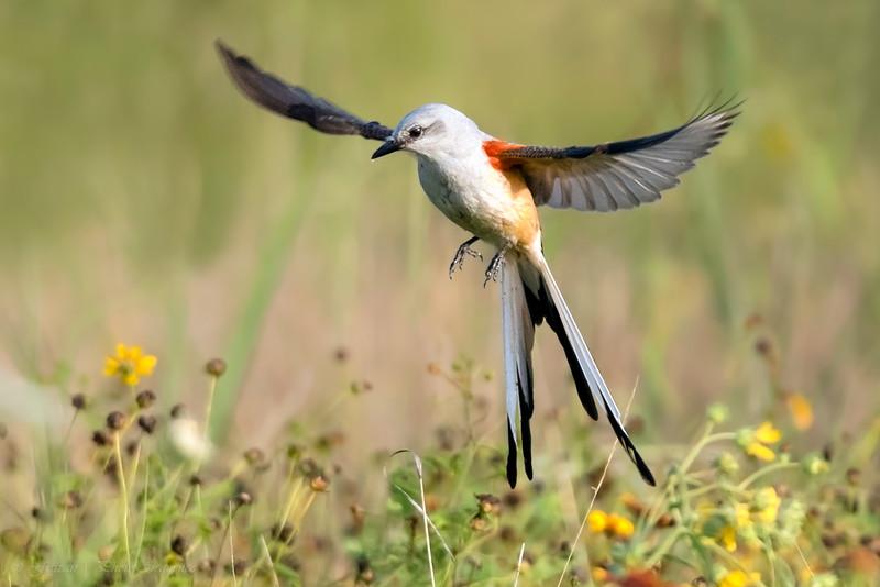 Scissor-tailed flycatcher 'Hovering'