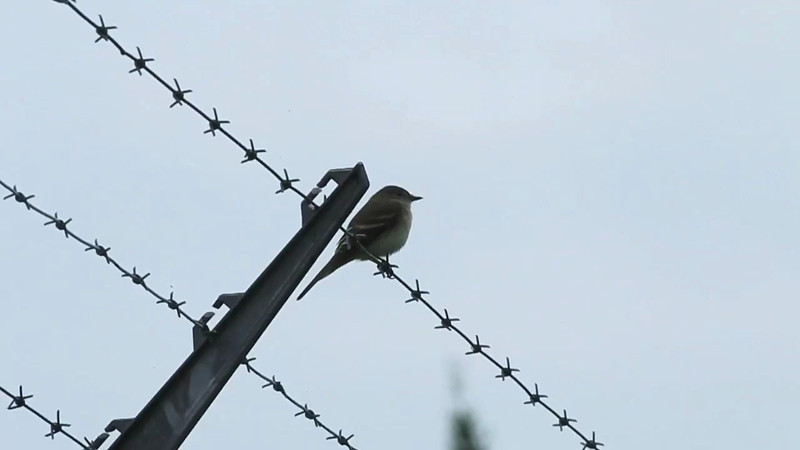 Airport South, Alder flycatcher: Empidonax alnorum  