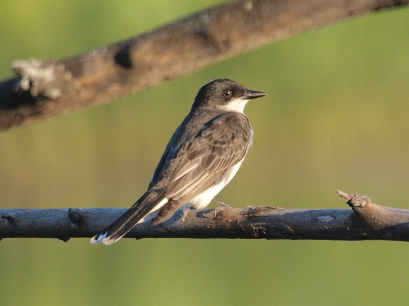 eastern kingbird: Tyrannus tyrannus, Petrie Island