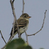 least flycatcher: Empidonax minimus, Mud Lake