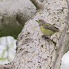 Ontario, Point Pelee NP--Woodland Nature Trail, white-eyed vireo: Vireo griseus