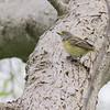 Ontario, Point Pelee NP--Woodland Nature Trail, white-eyed vireo: Vireo griseus