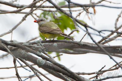 Fletcher Gardens, western kingbird: Tyrannus verticalis