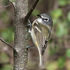 blue-headed vireo: Vireo solitarius, Mud Lake