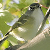 Blue-Headed Vireo - Note the white spectacles and throat, greanish back and yellow wash on side.