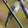 great crested flycatcher: Myiarchus crinitus, Mud Lake