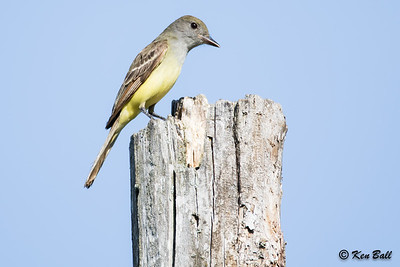 great crested flycatcher: Myiarchus crinitus, Thomas Dolan Parkway, Ottawa--Dunrobin (Carp Hills)