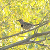 northern flicker: Colaptes auratus, Petrie Island