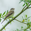 Airport South, Alder flycatcher: Empidonax alnorum.<br /> See VIDEO of this individual in the Flycatchers and Vireos Gallery as it makes a call while perched, then a song while flying.