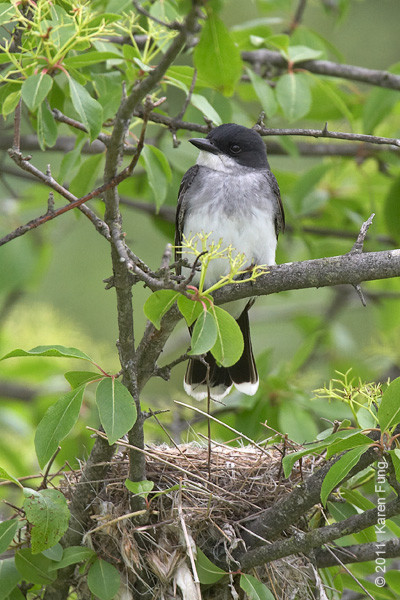 29 May: Eastern Kingbird guarding its nest in Ulster County