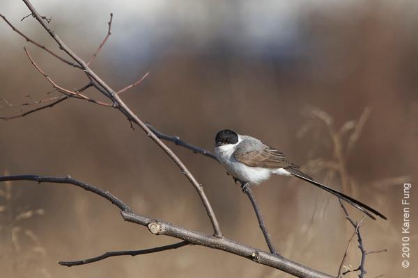 29 November: Fork-tailed Flycatcher in Stamford, CT.