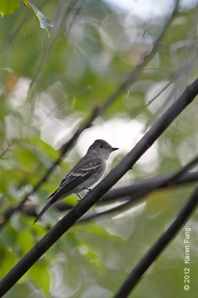 30 September: Eastern Wood-Pewee in Central Park