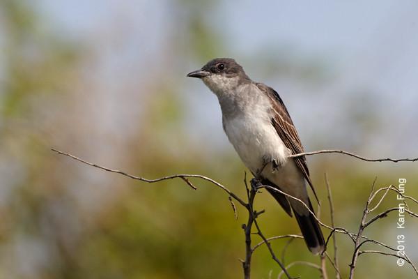 5 Sept: Eastern Kingbird at Jones Beach