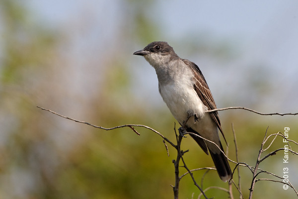 5 Sept: Eastern Kingbird at Jones Beach