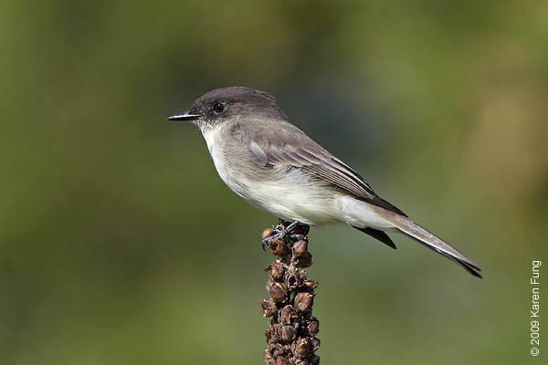 Oct 11th:  Eastern Phoebe at Jones Beach