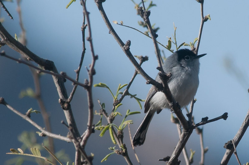 Blackmailed Gnatcatcher
