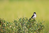 Eastern Kingbird<br /> Ithaca, NY