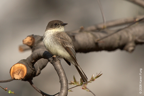 Eastern Phoebe in Riverside Park