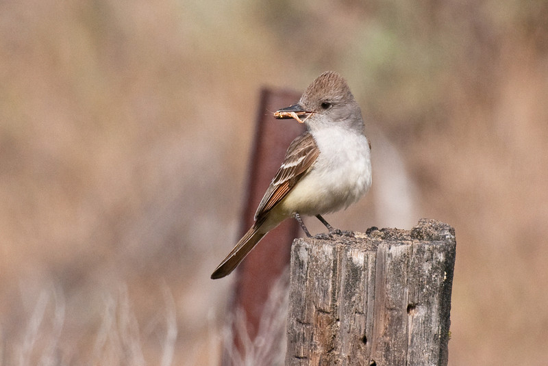 Ash-throated Flycatcher, Snow Mt. Ranch. This adult bird is bringing a grasshopper to the nest.