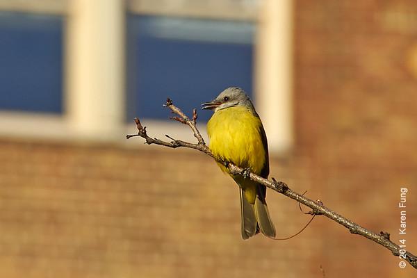 27 Dec: Couch's Kingbird