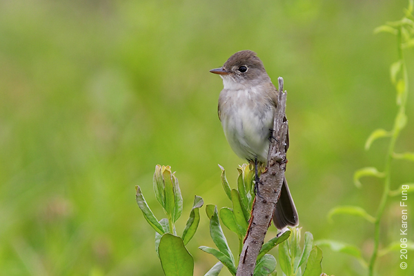 Willow Flycatcher at Jamaica Bay Wildlife Refuge