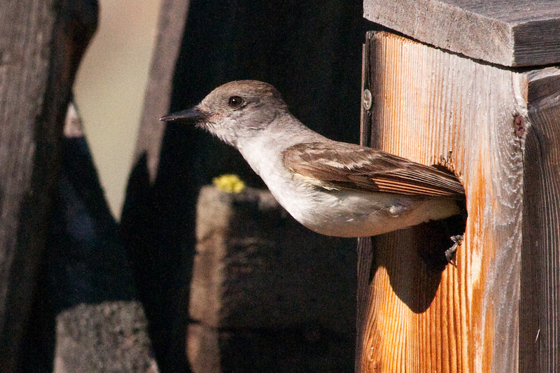 Ash-throated Flycatcher, Snow Mt. Ranch. Adult leaving the nest box. Note the feet are still pushing off.