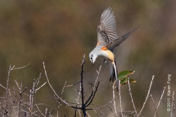 22 October: Scissor-tailed Flycatcher at Captree State Park