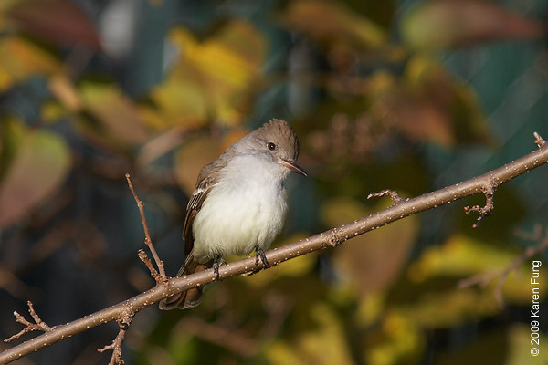 Nov 29th: Ash-throated Flycatcher in Queens, NYC.  A rare visitor to New York; found by Rudy Badia, Richard Aracil and Heydi Lopes on Nov 22nd.